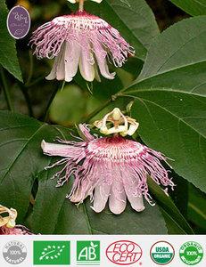 Passiflora Maceraat
