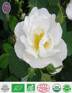 Roos centifolia hydrolaat