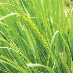 Lemongrass hydrolaat